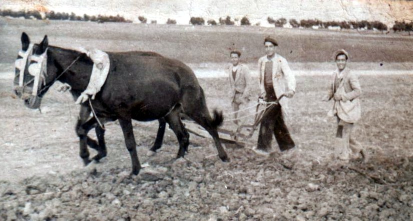 Cristobal García, arando en lo alto del Camino Majadahonda, año 1950