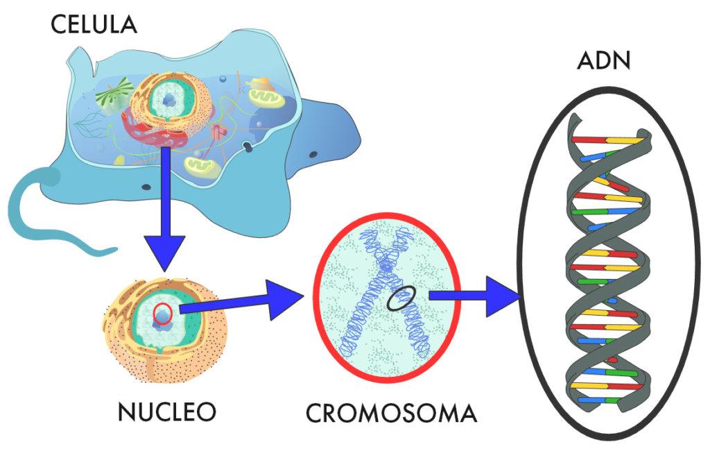 ADN, células y genealogía